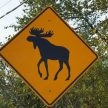 Moose ahead!